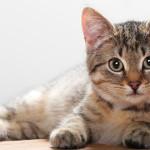Katter kan drabbas av diabetes