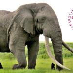 Elefanten i Karolinska Institutets finrum